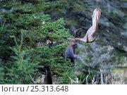Купить «Moose (Alces alces) head portrait of bull partly hidden by tree, Cap Breton Highlands National Park, Nova Scotia, Canada, September», фото № 25313648, снято 17 октября 2018 г. (c) Nature Picture Library / Фотобанк Лори
