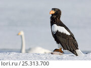 Купить «Steller's sea eagle (Haliaeetus pelagicus) with fish prey, Bewick swan in the background, Lake Kuril, Kamchatka, Far East Russia, January», фото № 25313700, снято 24 июня 2019 г. (c) Nature Picture Library / Фотобанк Лори