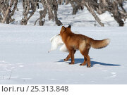 Купить «Red fox (Vulpes vulpes) carrying gull prey over snow, Kamchatka, Far east Russia, March», фото № 25313848, снято 20 марта 2019 г. (c) Nature Picture Library / Фотобанк Лори