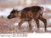 Купить «Caribou /Reindeer (Rangifer tarandus) young calf, Kamchatka, Far east Russia, April», фото № 25313856, снято 16 июля 2019 г. (c) Nature Picture Library / Фотобанк Лори