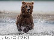 Купить «Kamchatka Brown bear (Ursus arctos beringianus)  running through water, fishing, Kamchatka, Far east Russia, August», фото № 25313908, снято 17 июня 2019 г. (c) Nature Picture Library / Фотобанк Лори