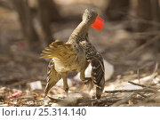 Купить «Great Bowerbird (Chlamydera nuchalis) male performing a peripheral display around his bower while holding a red plastic cap. James Cook University Campus, Townsville, Queensland, Australia, Sept 2009», фото № 25314140, снято 19 июля 2018 г. (c) Nature Picture Library / Фотобанк Лори