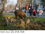 People watching Wild boar (Sus scrofa) sow and piglets foraging in a city garden, Argentinischen Allee, Berlin, Germany, March 2007. Стоковое фото, фотограф Florian Möllers / Nature Picture Library / Фотобанк Лори