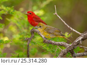 Купить «Summer Tanager (Piranga rubra) female perched beside male in breeding plumage, spring, Wichita Mountains National Wildlife Refuge, Oklahoma, USA, May», фото № 25314280, снято 14 августа 2018 г. (c) Nature Picture Library / Фотобанк Лори