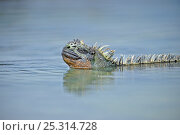 Купить «Marine Iguana (Amblyrhynchus cristatus) male swimming at water surface. Puerto Egas, Galapagos, September.», фото № 25314728, снято 22 марта 2019 г. (c) Nature Picture Library / Фотобанк Лори