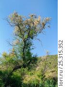 Купить «French Tamarisk / Salt cedar (Tamarix gallica) in flower on Port Cros Island National Park, with Mediterranean forest in the background. Hyeres archipelago, France, May.», фото № 25315352, снято 23 апреля 2019 г. (c) Nature Picture Library / Фотобанк Лори