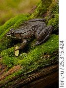 Купить «Green frog (Rana clamitans) on mossy log. New York, USA, October», фото № 25315424, снято 26 мая 2019 г. (c) Nature Picture Library / Фотобанк Лори