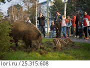 Купить «People warching Wild boar (Sus scrofa) sow and piglets foraging in a city garden, Argentinischen Allee, Berlin, Germany, March 2007», фото № 25315608, снято 16 декабря 2018 г. (c) Nature Picture Library / Фотобанк Лори