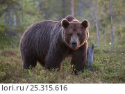Купить «European Brown Bear (Ursus arctos) in woodland habitat. Suomassalmi, Finland, July.», фото № 25315616, снято 18 августа 2018 г. (c) Nature Picture Library / Фотобанк Лори