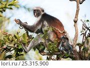 Купить «Zanzibar Red Colobus (Procolobus kirkii) mother with young infant, sitting in tree, Jozani Chwaka Bay NP, Zanzibar, Tanzania», фото № 25315900, снято 26 февраля 2020 г. (c) Nature Picture Library / Фотобанк Лори