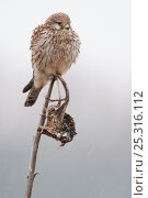 Купить «Common Kestrel (Falco tinnunculus) perched with feathers fluffed up, Zeeeland, The Netherlands», фото № 25316112, снято 19 февраля 2019 г. (c) Nature Picture Library / Фотобанк Лори