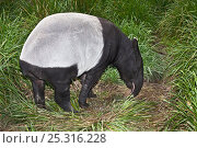 Female Malayan tapir (Tapirus indicus) grazing, from South East Asia, Endangered, Captive. Стоковое фото, фотограф Rod Williams / Nature Picture Library / Фотобанк Лори