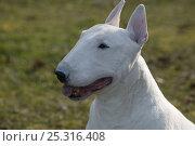 Купить «Domestic dog, English Bull Terrier, portrait», фото № 25316408, снято 17 августа 2018 г. (c) Nature Picture Library / Фотобанк Лори