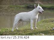 Купить «Domestic dog, English Bull Terrier, standing beside water», фото № 25316424, снято 17 августа 2018 г. (c) Nature Picture Library / Фотобанк Лори