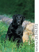 Купить «Black Labrador Retriever sitting beside fallen log», фото № 25316572, снято 22 февраля 2019 г. (c) Nature Picture Library / Фотобанк Лори