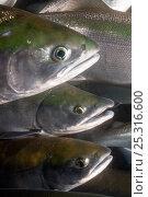 Купить «Migrating Salmon (Salmonidae) Lake Kuril, Kamchatka, Far East Russia, August», фото № 25316600, снято 24 июня 2019 г. (c) Nature Picture Library / Фотобанк Лори