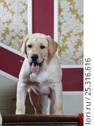 Купить «Yellow Labrador retriever puppy, 14 weeks, on stairs in house, property released», фото № 25316616, снято 25 марта 2019 г. (c) Nature Picture Library / Фотобанк Лори
