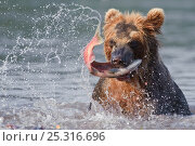 Купить «Kamchatka Brown bear (Ursus arctos beringianus) catching migration salmon in river, Kamchatka, Far east Russia, August», фото № 25316696, снято 16 августа 2018 г. (c) Nature Picture Library / Фотобанк Лори