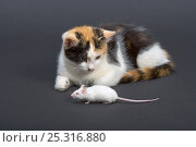 Купить «Domestic cat, tortoiseshell kitten playing with white mouse», фото № 25316880, снято 5 декабря 2019 г. (c) Nature Picture Library / Фотобанк Лори