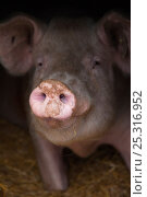 Купить «Domestic pig, hybrid large white sow in free-range sty, UK, August 2010», фото № 25316952, снято 21 июля 2018 г. (c) Nature Picture Library / Фотобанк Лори