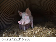 Купить «Domestic pig, hybrid large white sow in free-range sty, UK, August 2010», фото № 25316956, снято 20 января 2018 г. (c) Nature Picture Library / Фотобанк Лори