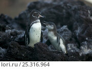 Купить «Galapagos penguin (Spheniscus mendiculus) with chick, Galapagos, Endangered species», фото № 25316964, снято 20 февраля 2020 г. (c) Nature Picture Library / Фотобанк Лори
