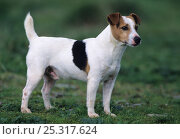 Купить «Dog, Jack Russell Terrier, portrait», фото № 25317624, снято 18 июля 2018 г. (c) Nature Picture Library / Фотобанк Лори
