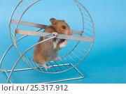 Купить «Pet Hamster (Mesocricetus auratus) in exercise wheel, studio shot», фото № 25317912, снято 22 октября 2018 г. (c) Nature Picture Library / Фотобанк Лори