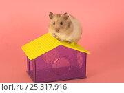 Купить «Pet Hamster (Mesocricetus auratus) on hamster house, studio shot», фото № 25317916, снято 19 августа 2018 г. (c) Nature Picture Library / Фотобанк Лори