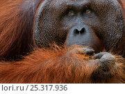 Orang utan (Pongo pygmaeus) head portrait of dominant male called Richie,  Semengoh Nature reserve, Sarawak, Borneo, Malaysia, Sarawak, Borneo, Malaysia, Endangered. Стоковое фото, фотограф Edwin Giesbers / Nature Picture Library / Фотобанк Лори