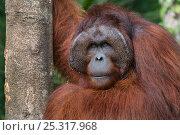 Orang utan (Pongo pygmaeus) head portrait of dominant male called Richie, Semengoh Nature reserve, Sarawak, Borneo, Malaysia, Endangered. Стоковое фото, фотограф Edwin Giesbers / Nature Picture Library / Фотобанк Лори