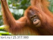 Orang utan (Pongo pygmaeus) portrait, Semengoh Nature reserve, Sarawak, Borneo, Malaysia, Endangered. Стоковое фото, фотограф Edwin Giesbers / Nature Picture Library / Фотобанк Лори