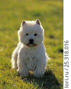 Купить «West Highland White Terrier / Westie, portrait on grass», фото № 25318016, снято 25 марта 2019 г. (c) Nature Picture Library / Фотобанк Лори