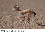 Black Tailed Gazelle (Gazella subgutturosa) male running, Gobi Desert, Mongolia. Стоковое фото, фотограф Eric Dragesco / Nature Picture Library / Фотобанк Лори