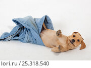 Купить «Yellow Labrador puppy playing with a pair of old jeans», фото № 25318540, снято 25 марта 2019 г. (c) Nature Picture Library / Фотобанк Лори