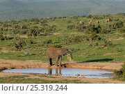 Купить «African elephant (Loxodonta africana) spraying itself at waterhole, with rest of herd walking away in the background, Addo Elephant NP, eastern Cape, South Africa, November», фото № 25319244, снято 5 июля 2020 г. (c) Nature Picture Library / Фотобанк Лори