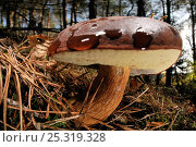 Toadstool (Boletus badius) growing in woodland amongst pine needles, Germany. Стоковое фото, фотограф Solvin Zankl / Nature Picture Library / Фотобанк Лори