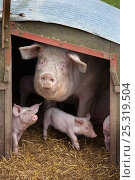 Купить «Domestic pig, hybrid large white sow and piglets in sty, UK, September 2010», фото № 25319504, снято 20 января 2018 г. (c) Nature Picture Library / Фотобанк Лори