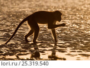 Long-tailed / Crab-eating macaque (Macaca fascicularis) foraging on exposed tideline, Bako National Park, Sarawak, Borneo, Malaysia. Стоковое фото, фотограф Edwin Giesbers / Nature Picture Library / Фотобанк Лори