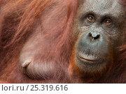 Orang utan (Pongo pygmaeus) head portrait of female, Semengoh Nature reserve, Sarawak, Borneo, Malaysia, Sarawak, Borneo, Malaysia, Endangered. Стоковое фото, фотограф Edwin Giesbers / Nature Picture Library / Фотобанк Лори
