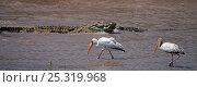 Купить «Nile crocodile (Crocodylus niloticus) feeding on a kill with Yellow-billed storks (Mycteria ibis) in the foreground. Masai Mara National Reserve, Kenya, October 2009», фото № 25319968, снято 17 июня 2019 г. (c) Nature Picture Library / Фотобанк Лори