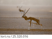 Blackbuck (Antilope cervicapra) male urinating on dung pile, Rajasthan, India. Стоковое фото, фотограф Bernard Castelein / Nature Picture Library / Фотобанк Лори