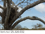 Купить «Galapagos hawk (Buteo galapagoensis) nest in tree with Black rats (Rattus rattus) trapped in trap, Espanola Island, Galapagos Islands, Endemic, Vulnerable species», фото № 25320032, снято 17 августа 2018 г. (c) Nature Picture Library / Фотобанк Лори