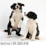 Купить «Two black-and-white Border Collie puppies playing, 6 weeks.», фото № 25320316, снято 22 сентября 2018 г. (c) Nature Picture Library / Фотобанк Лори