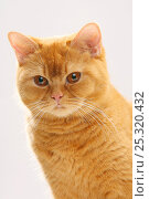 Купить «British Shorthair Cat, solid red, portrait», фото № 25320432, снято 19 сентября 2018 г. (c) Nature Picture Library / Фотобанк Лори