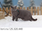 Купить «British Shorthair Cat, blue coated tomcat with harness and leash, walking in snow, with picket fence behind», фото № 25320440, снято 20 июля 2018 г. (c) Nature Picture Library / Фотобанк Лори