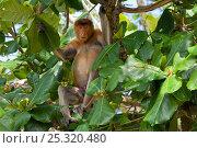 Proboscis Monkey (Nasalis larvatus) adult male sitting in tree, Bako National Park, Sarawak, Malaysia, Borneo. Стоковое фото, фотограф Edwin Giesbers / Nature Picture Library / Фотобанк Лори