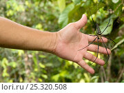 Купить «Giant wood / Golden orb spider (Nephila pilipes) with hand to illustrate scale, Sarawak, Borneo, Malaysia», фото № 25320508, снято 20 июня 2019 г. (c) Nature Picture Library / Фотобанк Лори