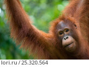 Orang utan (Pongo pygmaeus) head portrait, Semengoh Nature reserve, Sarawak, Borneo, Malaysia, Endangered. Стоковое фото, фотограф Edwin Giesbers / Nature Picture Library / Фотобанк Лори