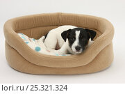 Купить «Smooth coated Jack Russell Terrier, black and white, puppy lying in basket», фото № 25321324, снято 18 октября 2019 г. (c) Nature Picture Library / Фотобанк Лори